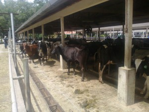 Dairy cow productivity within your farm conditions